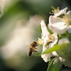 Bee flying to an apple blossom