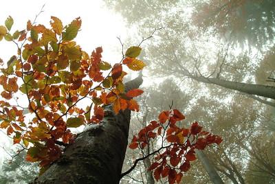 Foggy beech forest in autumn
