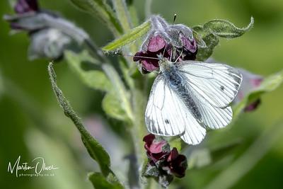 White, Green-veined