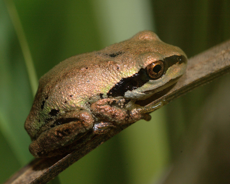 Gold colored tree frog.