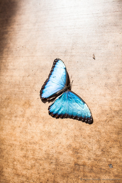 Woodget-140221-026--blue, butterfly - Insect, metallic.jpg