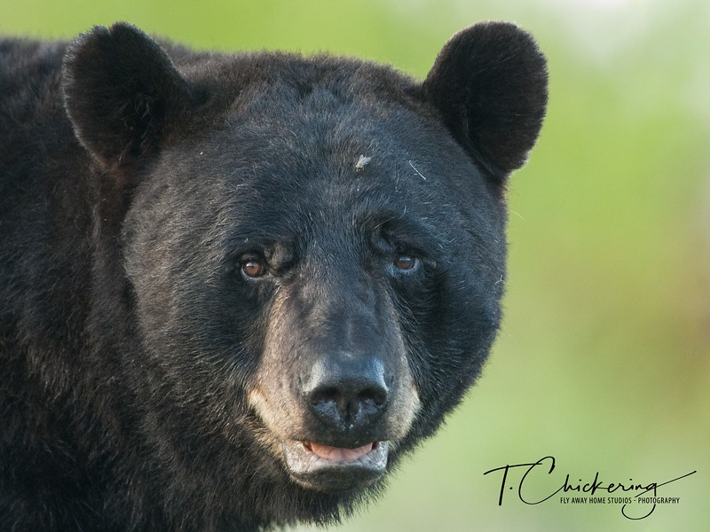Black Bear Stare-1505695769352.jpg