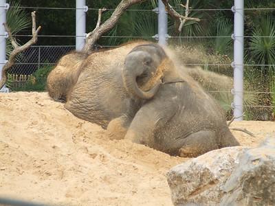 Asian Elephant, Mac, Has Fun in new yard