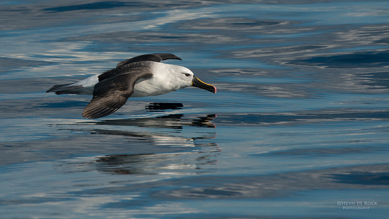 Indian Yellow-nosed Albatross, Wollongong Pelagic, NSW, Jul 2014-4.jpg