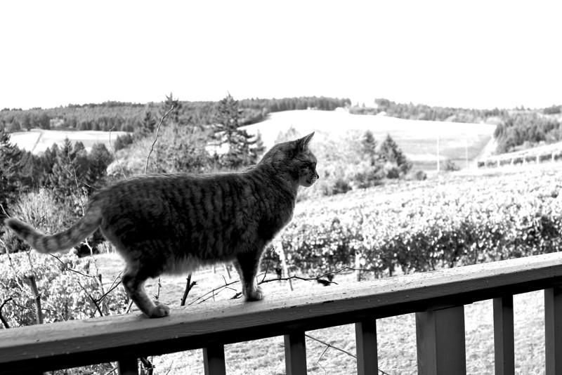 BC The Barn Cat 2010 Calendar, Maresh Vineyard Oregon  2964.jpg