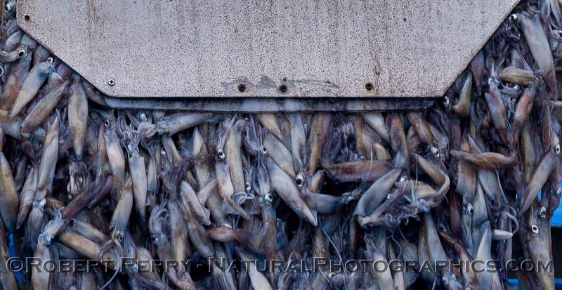 Commercial market squid harvesting