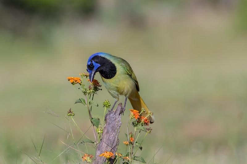 Green Jay (Cyanocorax incas)