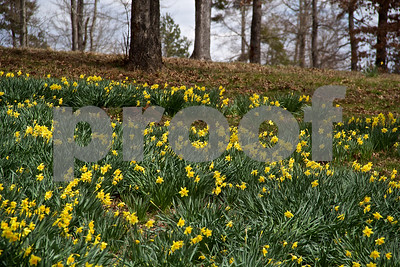 3/7/15 Mrs. Lee's Daffodil Gardens by Linden Black