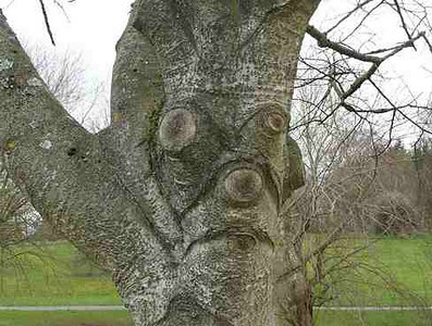 old man tree.jpg