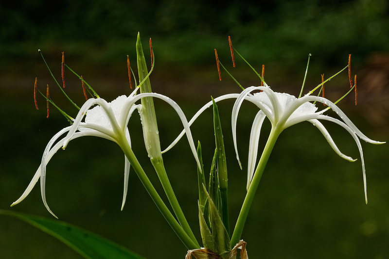 Florida spiderlily (Hymenocallis crassifolia)