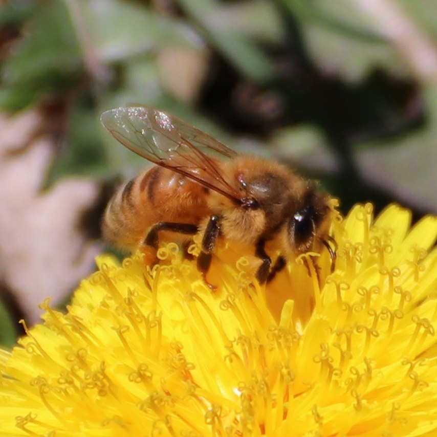 Bee on a dandelion, close-up, April 3, 2020
