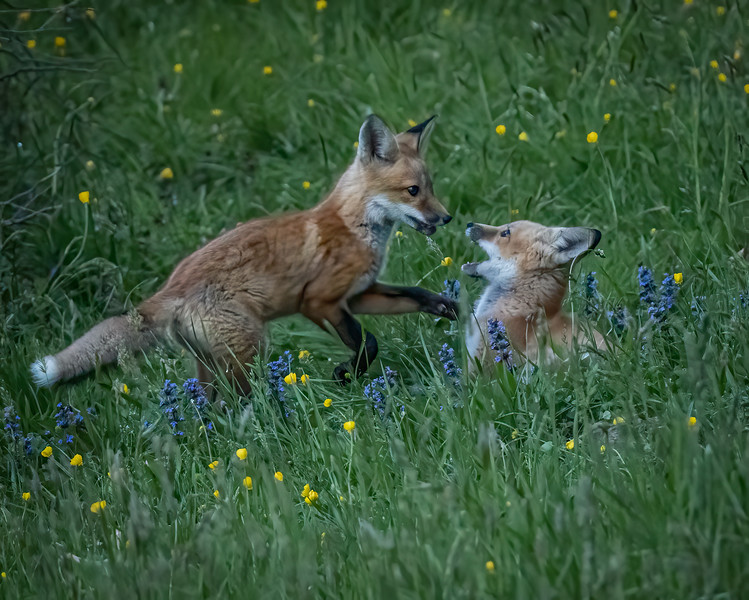 Two Foxes at Play