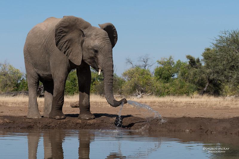 African Elephant, Mashatu GR, Botswana, May 2017-49.jpg