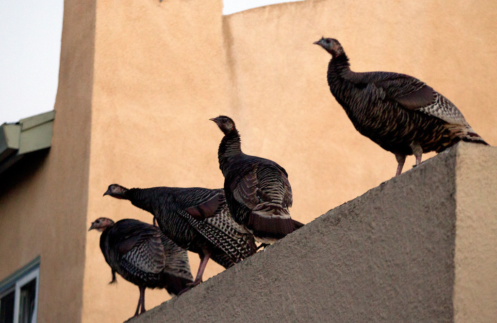 . Wild turkeys perch on a rooftop along Cornell Avenue, Sunday, Feb. 24, 2013 in Albany, Calif. Neighbors are requesting that the city do something about the birds, a flock of which have taken up residence in an area tree. (D. Ross Cameron/Staff)