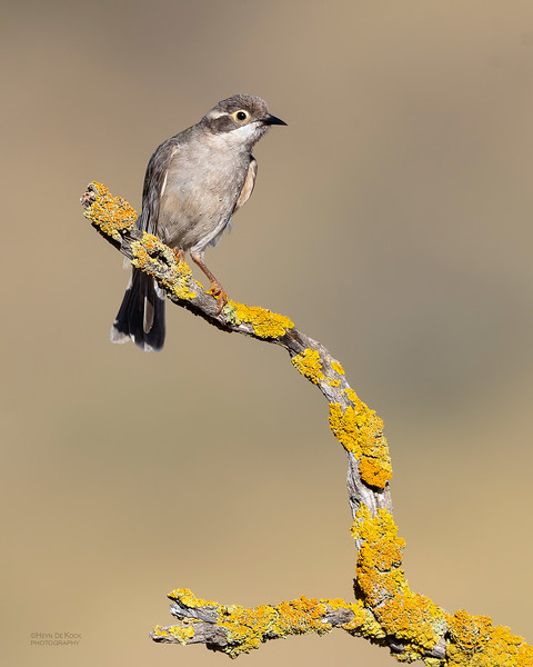 Brown-headed Honeyeater, Glenrowan, VIC Oct 2018-1.jpg