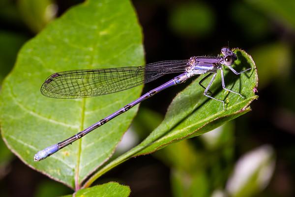 Dragonflies & Damselfies