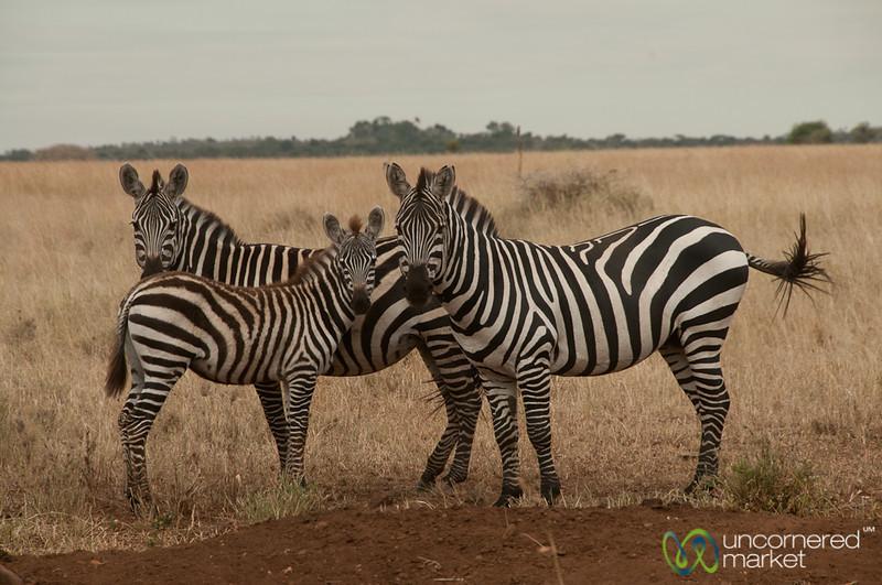 Zebra Family - Serengeti, Tanzania