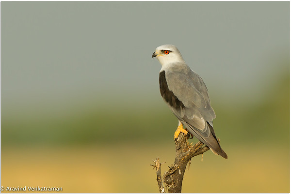 Birds of Tal Chapar & Bikaner