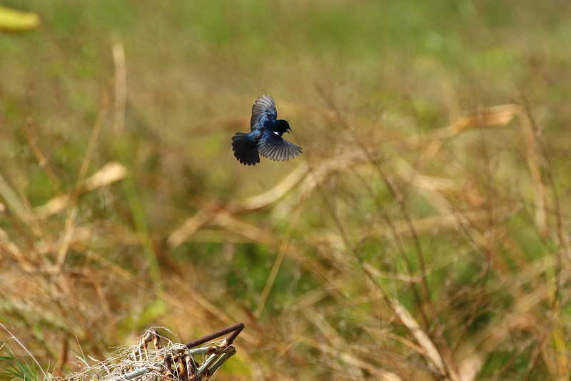 The Blue-black Grassquit - AKA Johnny Jump-up