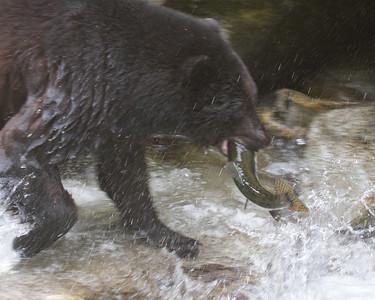 Black Bears, Anon Creek, Alaska