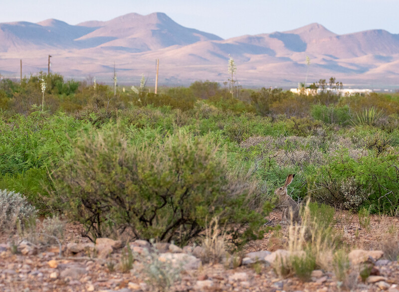 Black-tailed Jackrabbit Foothills Road Chihuahuan Desert Chiricahua Mountains near Portal southeast Arizona June 6-12 2019DSC00708.jpg