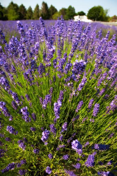 lavender-05.jpg