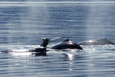 Group of Humpback Whales July 2015, Cynthia Meyer, Tenakee Springs, Alaska P1040514