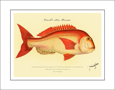 Fish of the British Islands 1877