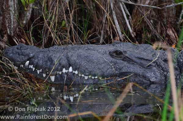 Crocodilians and Testudines- USA