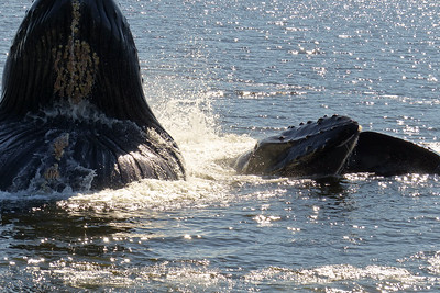 Bubblenetting Humpback Whales August 2015, Cynthia Meyer, Tenakee Springs, Alaska P1100068