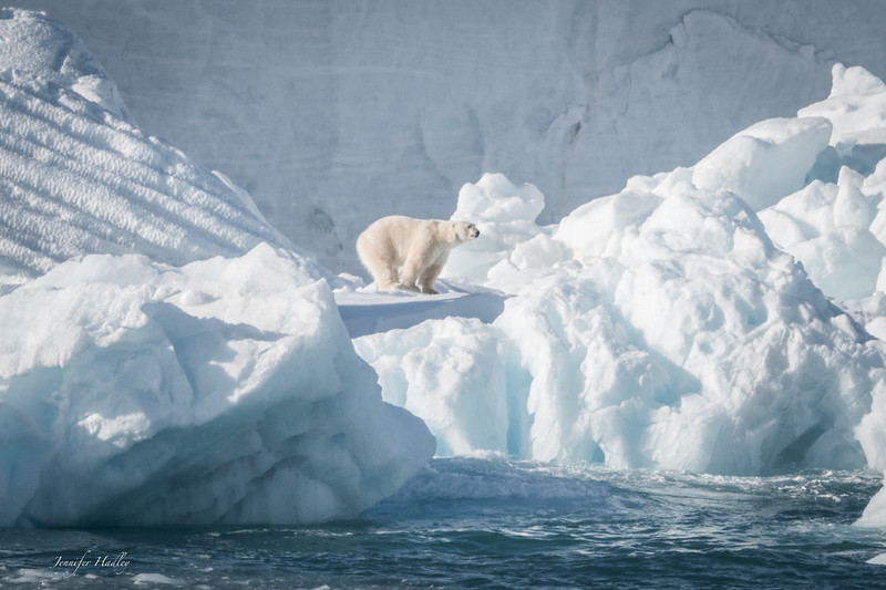polar bear walking on iceberg 2.jpg