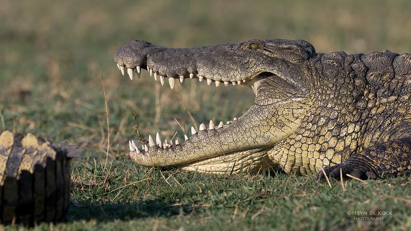 Nile Crocodile, Chobe River, NAM, Oct 2016-3.jpg