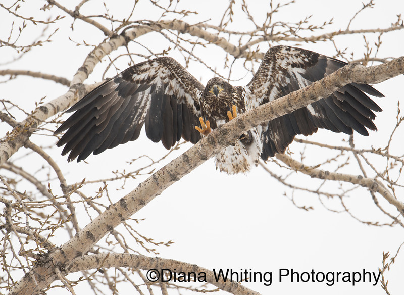 Bald Eagle 6 copy.jpg