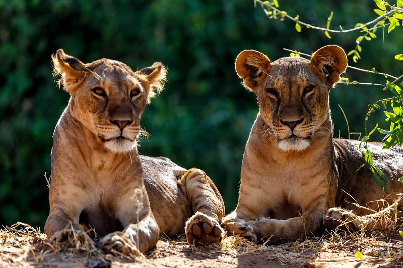Lion cubs on the ledge