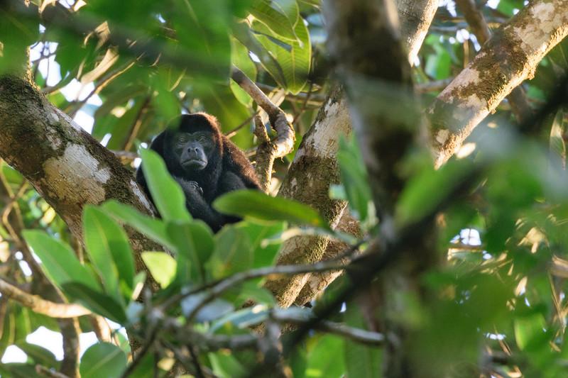 Howler monkey.