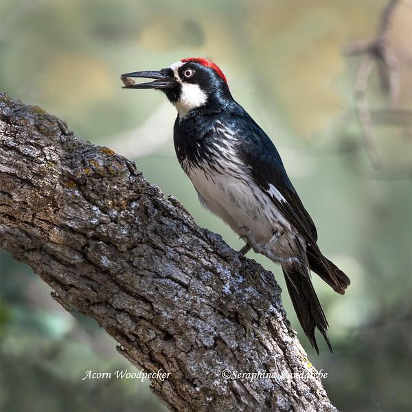 _DSC3061Acorn Woodpecker.jpg