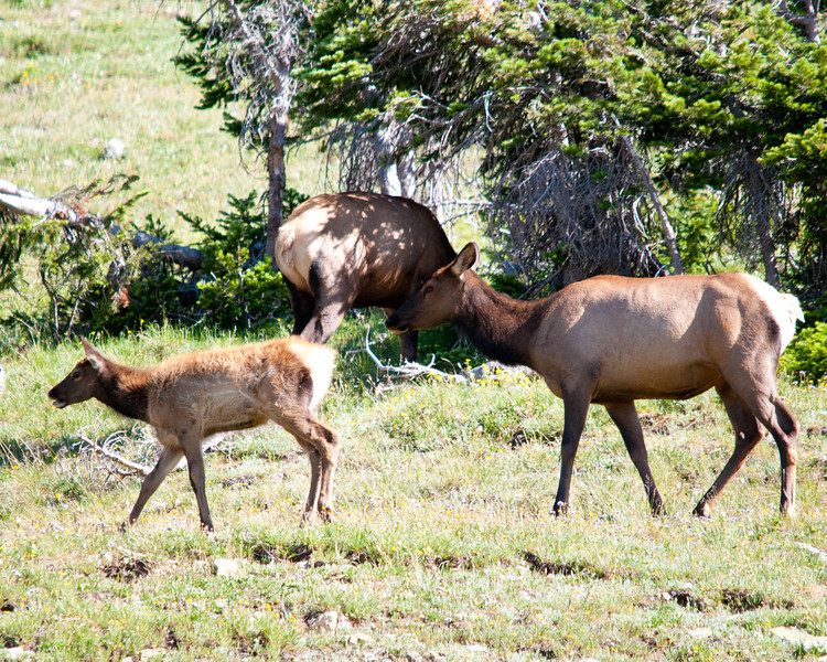 Mother elk and calf - RMNP.jpg
