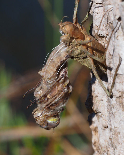 Emerging Spring Cruiser Dragonfly?