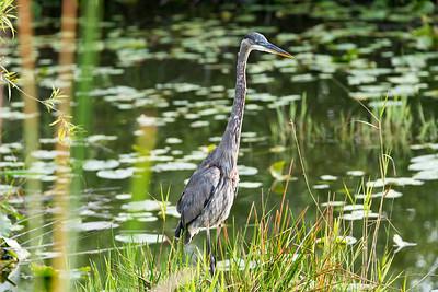 03_Everglades - Heron - Great Blue
