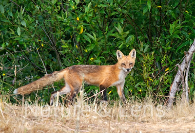 Foxes, Red Foxes