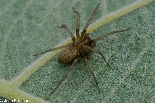 Les Familles ;Agelenidae, Clubionidae, Gnaphosidae, Philodromidae