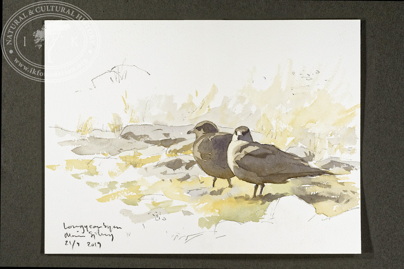 """Arctic skua in Longyearbyen