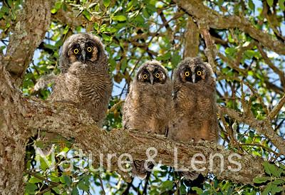 Owls, Long-Eared Owls