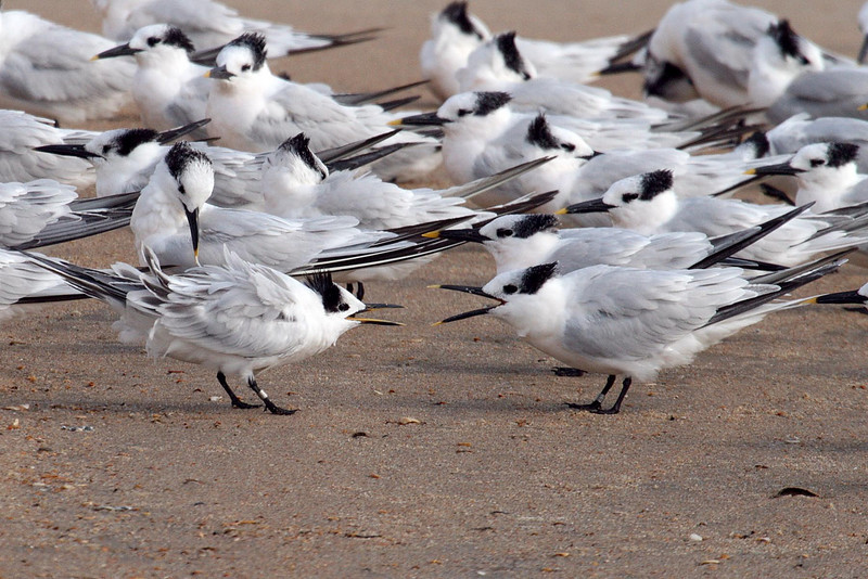 Sandwich Terns 02 at Cape Hatteras, NC (November 10, 2007).psd