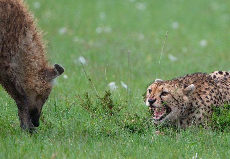 gepard_vs_hyena.jpg