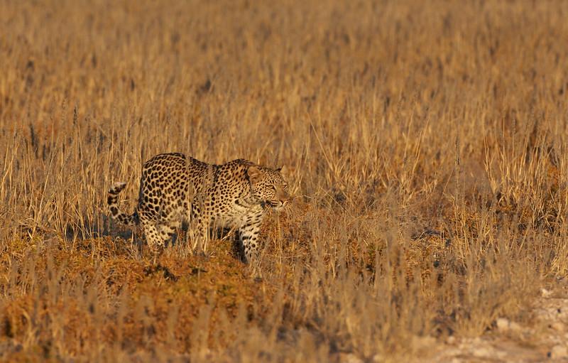 Leopard -5398.jpg