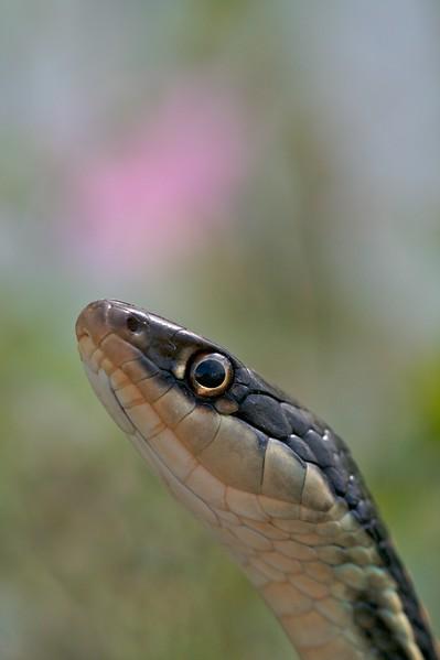 Western Ribbon Snake (Thamnophis proximus proximus) [April; Krenmueller Farms, Lower Rio Grande Valley, Texas]