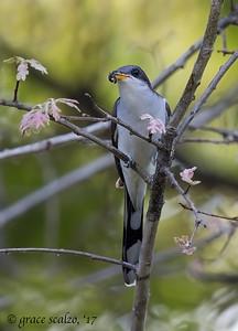 Yellow-billed cuckoos