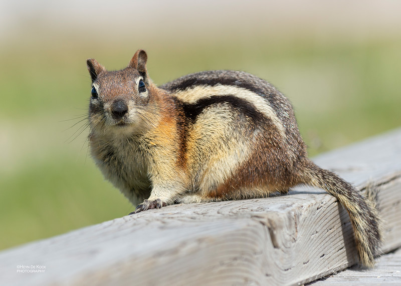 Golden-mantled Ground Squirrel, Yellowstone NP, WY, USA May 2018-2.jpg