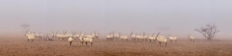 Arabian Oryx (48).jpg